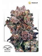 Blueberry Zaden | Dutch Passion